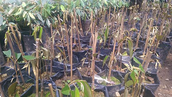 durianseedlings