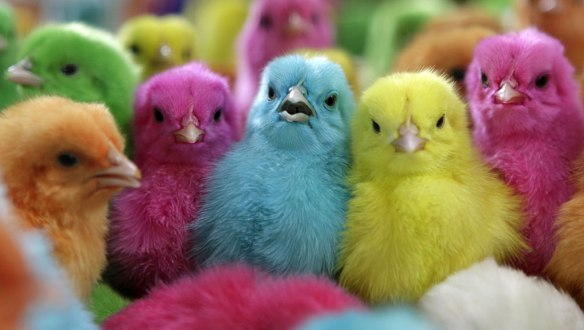 coloredchicks